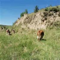 正规养殖纯正健康放心好牛