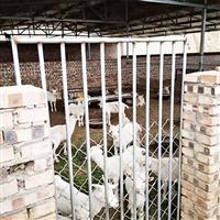 生态养猪场肉羊