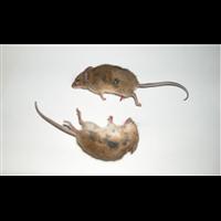 泰安饭店灭老鼠