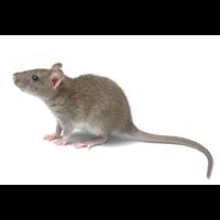 山东办公室灭老鼠