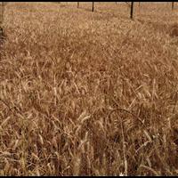 农家自产新小麦