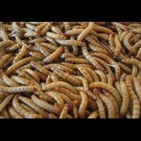 清远哪里有养殖蛋白虫的